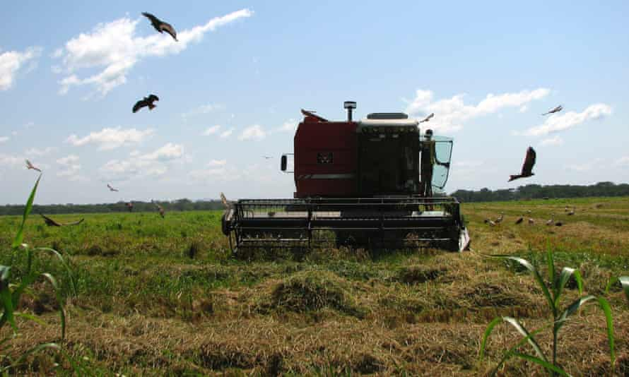 Harvesting rice at Saudi Star's farm investment in Gambella. The company says it is trying to ensure that local communities benefit from the operation.