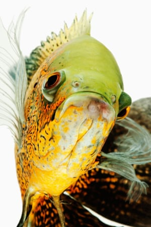 Oscar fish (Astonotus ocellatus), a tropical freshwater fish native to South America.