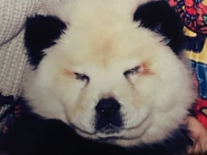 Panda dog Italy