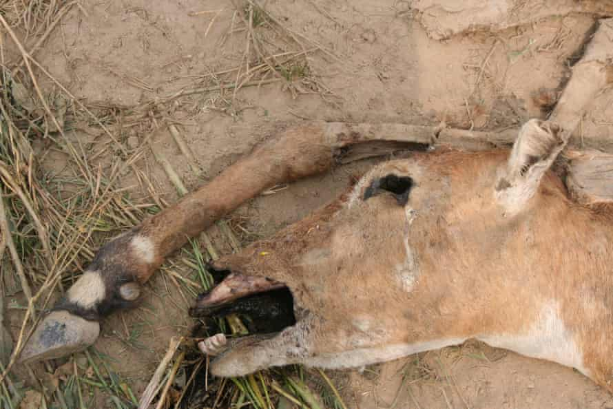 A nilgai killed by electrocution, probably a common way of dispatching crop pests.