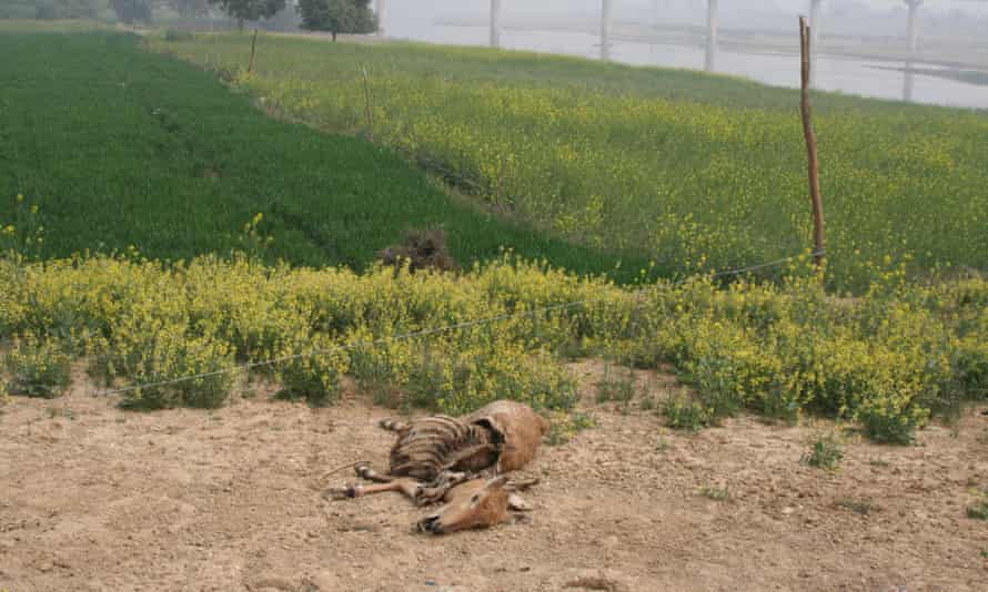 A nilgai electrocuted by a live wire protecting a crop field.