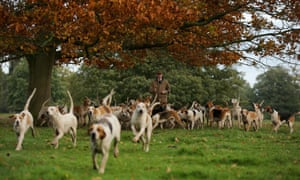 Hounds being exercised. There is some talk of the ban on fox hunting being lifted.