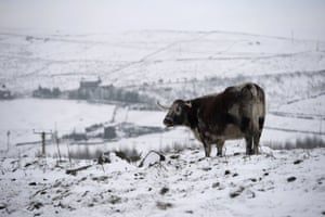 A bull stands in a snow-covered field near the village of Diggle.