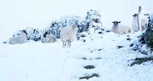 Sheep in a snow covered field in Langley.