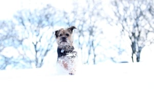 Jacques the border terrier plays in the snow in Buxton.