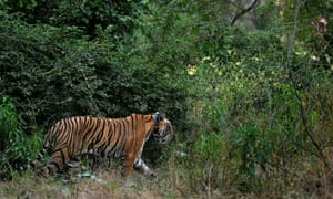 The radio collar fixed around the tiger's neck malfunctioned and officials couldn't monitor the animal.