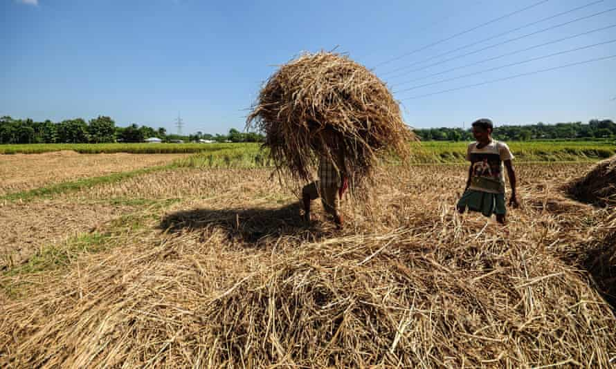 Indian farmers clear rice waste. More than half of the world's people eat rice as a staple food, and for every five tonnes of rice harvested, one tonne of waste husk.