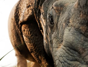 Up close, an Indian one horned rhino.