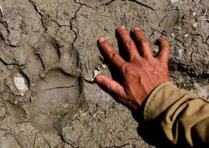 Anti poaching patrol. A ranger places his hand next to a freshly made bengal tiger foot print, Kaziranga national park, Assam, India.