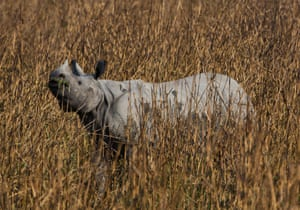 An Indian one horned rhino is pictured in the Kaziranga national park, Assam, India.