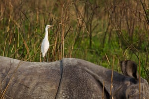 An Egret rests on the back of an Indian rhino as it feeds on long grass in the Kaziranga national park, Assam, India.