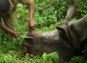 A park ranger de-horns a rhino after it was killed by poachers. According to a local journalist the India's anti poaching team arrived on the scene after the two bullets where shot. The poachers fled the scene after bullets where exchanged between the rangers and the poachers.