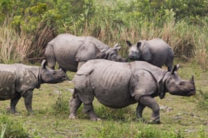 Indian rhino numbers are steadily increasing but the demand for rhino horn in Vietnam, Thialand and China is a threat to all rhinos across the world.