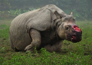 A de-horned rhino slowly dies after poachers left the scene with it's horn valued at US$80,000 on the street in India.