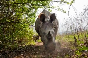 A mother and calve Indian rhino move throught the Kaziranga national park, Assam, India.