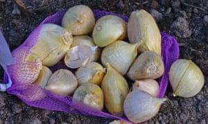 Elephant garlic cloves (Allium ampeloprasum)