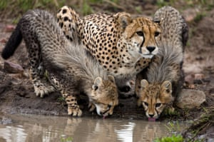A mother lets her cubs drink while guarding them against potential dangers
