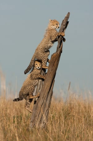 A young cheetah peers from under a sibling's tail as they use a tree trunk as lookout