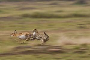 A cheetah chases an impala