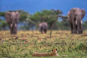"""British wildlife photographer Paul Goldstein says: """"I have spent more time with cheetahs than any other animal. Being daytime hunters they are marvellous subjects, particularly early and late"""""""