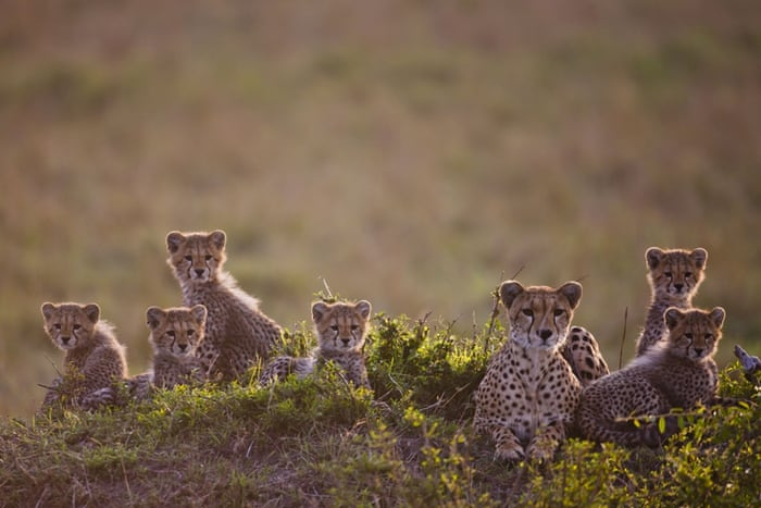 A mother with her cubs. Cheetahs are sought-after as status-symbol pets in the Middle East, fuelling the illegal trade in smuggling cubs from the wild