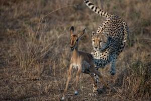 A cheetah hunts down its prey