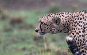 Cheetahs, the world's fastest land animal, have lost about 90% of their population over the last century as their huge ranges in Africa and Asia were taken over by farmland. Fewer than 10,000 remain and numbers are falling