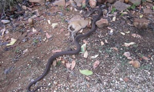 Snake eats wallaby Northern Territory