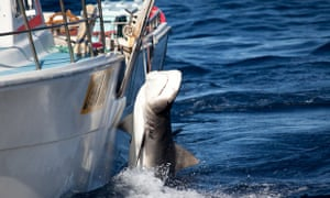 Shark cull Western Australia