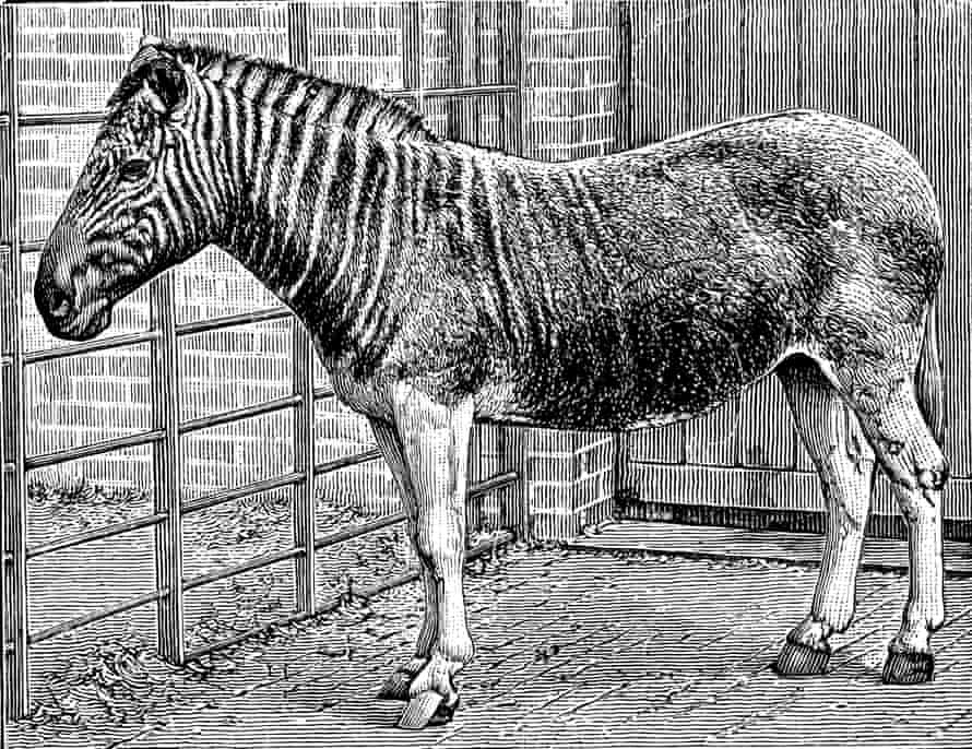 Engraving of a photograph of a quagga mare