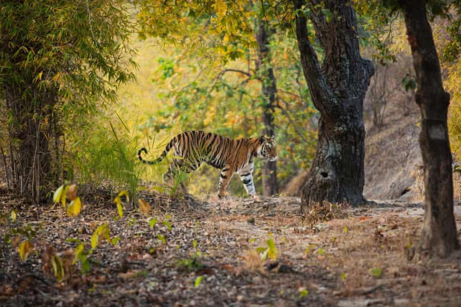 A tiger in Bandhavgarh national park, Madhya Pradesh.