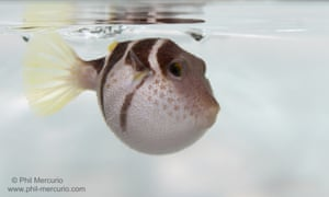 Black-saddled pufferfish (Canthigaster valentini) inflated.
