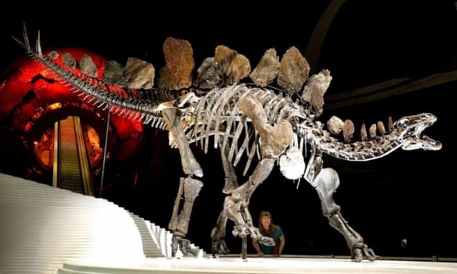 A complete Stegosaurus fossil goes on display at the Natural History Museum in London