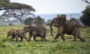 Elephants calves playing at the Amboseli game reserve, approximately 250 kilometres south of Nairobi, on December 30, 2012.