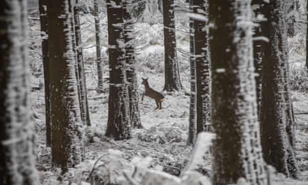 A deer runs away between trees of a snow-covered forest.
