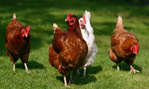 Damian Barr's chickens love to watch him peck at his keyboard.