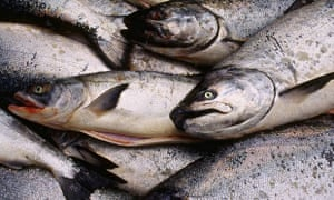 Fresh Caught King and Chum Salmon