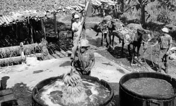 Bananas being cleaned of pesticides in the Costa Rican town of Golfito, circa 1950.