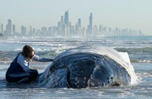 A humpback whale calf