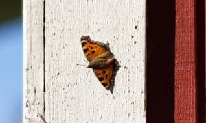 Conservationists hope the Scarce Tortoiseshell (Nymphalis xanthomelas) and other exotic butterflies will overwinter in the UK.