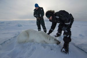 The researchers not only earmark, but they also weigh the bears, if possible. Some of them can weigh up to around 240kg, meaning four people have to be involved in this process! If they cannot weigh the bear, they will instead test for body fat. The researchers can then compare the result of the test with mathematic formulae. In that way they can see how well the bear is doing, but they can also estimate what the bear weighs from length and girth measurements.