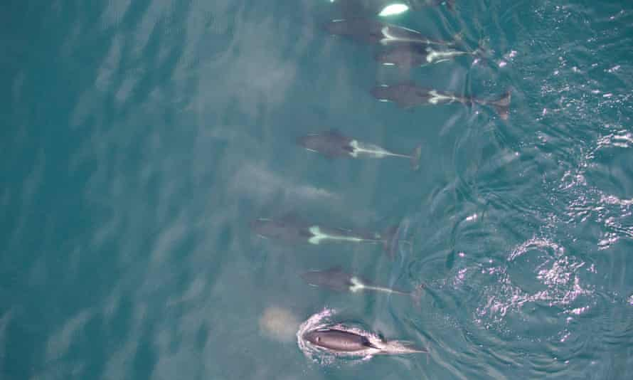 Wayne Perryman's drone photograph of a school of killer whales