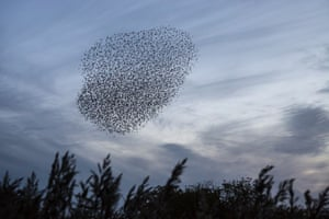 Starlings at Leighton Moss
