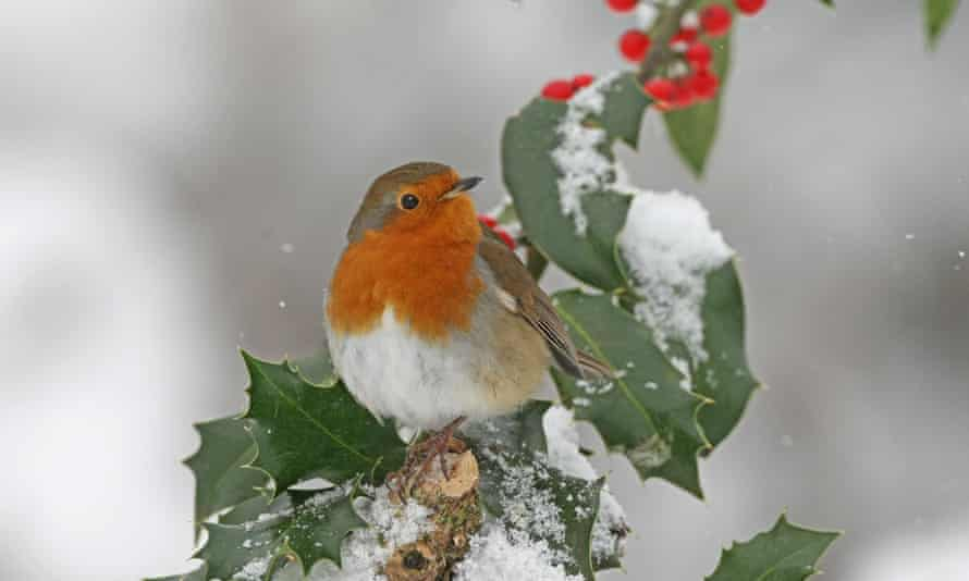 An adult robin perched on snow-covered holly. The robin uses magnetorecption to detect its direction of travel
