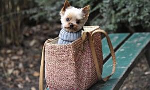 Chihuahua Yorkshire mix dog sitting in a shopping bag, Hamburg, Germany - 11 Jan 2014