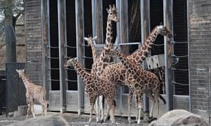 Giraffe Marius in Copenhagen Zoo