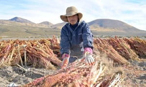 Quinoa farmer on the banks of the Salar de Uyuni