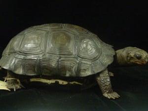 Darwin's tortoise