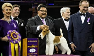 Wire fox  terrier stands on the winner's bodium with handler Gabriel Rangel and judges
