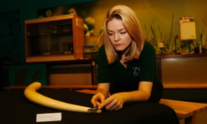 Rachelle Arthey of the ZSL examining a confiscated  elephant tusk.  Along with others it was brought out of the society's archives ahead of the summit on illegal wildlife trade held held later in the day.